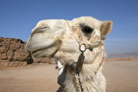 Camel stare