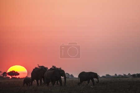Elephants in african savanna at sunset
