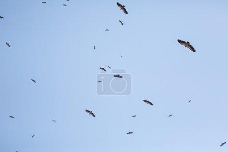 Cape Vultures flying in blue sky over  Africa...