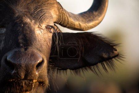 Buffalo in the veld