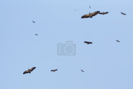 Vulture in Zimbabwe. Endangered species due to poi...