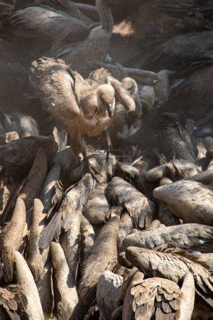 Vulture in Africa.