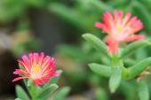 Trichodiadema setuliferum kaktus květ