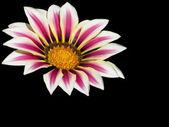 Opylování gazánie flowerhead izolované na tmavém pozadí