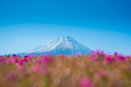 Mountain Fuji with Blurry foreground of pink moss sakura or cherry blossom in Japan Shibazakura Festival background