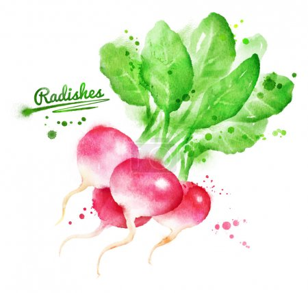 Photo for Hand drawn watercolor illustration of radishes with paint splashes - Royalty Free Image