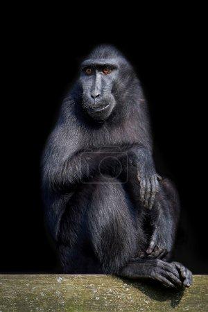 Photo pour Célèbes huppé macaque isolé sur un fond noir - image libre de droit