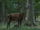 Red deer (Cervus elaphus) in its natural habitat in Denmark