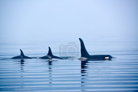 Three Killer whales with huge dorsal fins at Vancouver Island