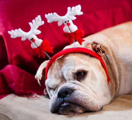 Photo pour A cute bulldog decorated with reindeer asleep after Christmas dinner - image libre de droit