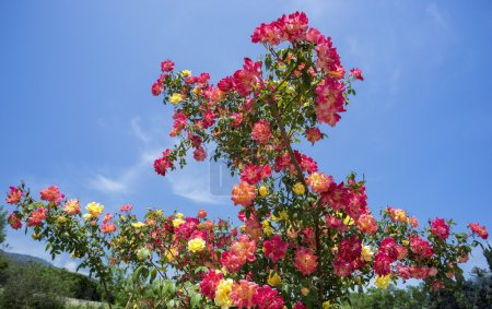 Beautiful Bush of roses on a background  blue sky.