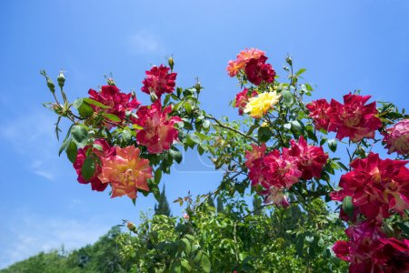 The branch of roses on a background blue sky.
