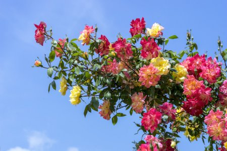 Branch with red and yellow roses on a background of blue sky.