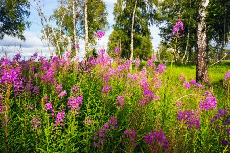 Fireweed blooming in a forest glade among  birches.