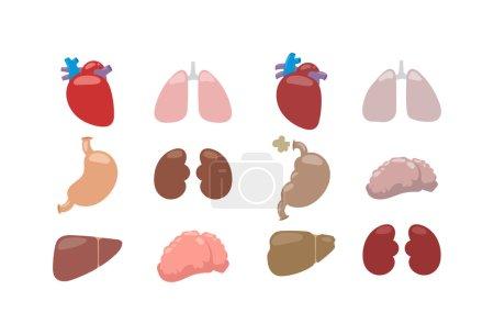 Internal organs vector illustration