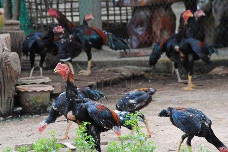 Photo pour Le poulet s une volaille domestiquée, une sous-espèce de la junglefowl rouge. comme l'un du plus répandu des animaux domestiques, avec une population de plus de 24 milliards en 2003 - image libre de droit