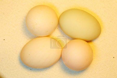 Photo pour Les œufs sont pondus par des femelles de nombreuses espèces différentes, y compris les oiseaux, les reptiles, les amphibiens et les poissons, et sont consommés par les humains depuis des milliers d'années. - image libre de droit