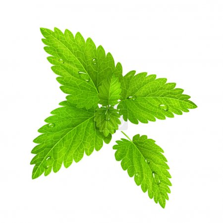 Vector. Fresh mint isolated on a white background