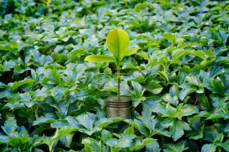 Fresh money plant growing, Money growth concept