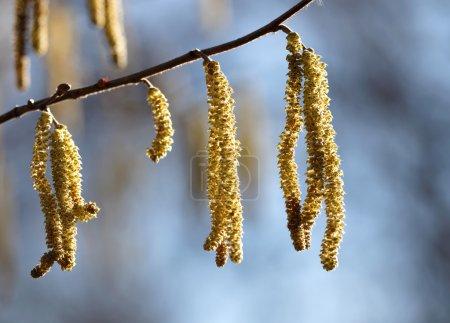 Close up of hazel tree-2