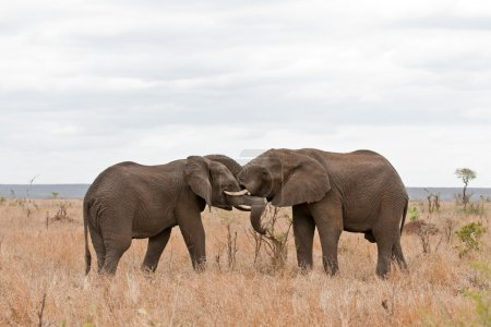 Two African elephants greeting each other with trunks and mouths touching, South Africa, Kruger Park