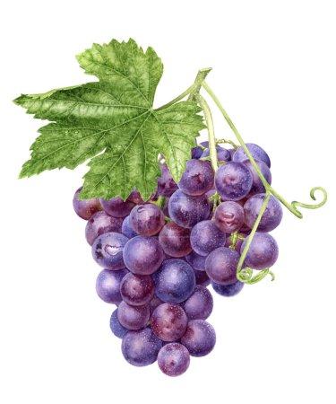 Photo pour Bouquet de raisin avec aquarelle feuille dessinée à la main illustration isolée sur fond blanc. - image libre de droit