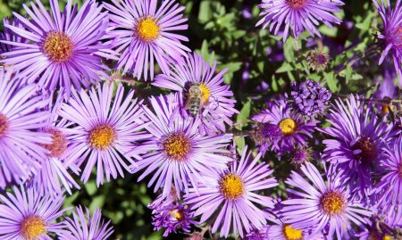 Bee on flowers Aster