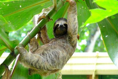Photo pour Jeune paresseux debout sur un arbre près d'une petite maison à Puerto Viejo, Costa Rica . - image libre de droit