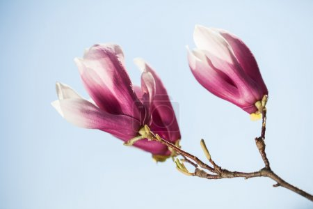 Magnolia flowers on blue sky background. Shallow D...
