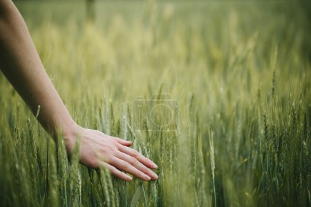 Photo for Hand touching wheat field ears - Royalty Free Image