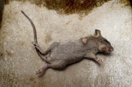 rat die on ground