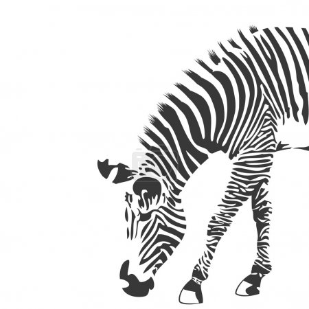Illustration for Illustration of zebra in black and white. Background with place for text - Royalty Free Image