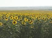 Pole slunečnic. Široký úhel. Čas západu slunce