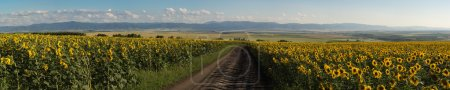 Panorama of sunflowers meadow, road between, mountains slops, fields and town on the back plan.
