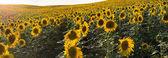Panorama slunečnice louku ze strany pole, slunce za