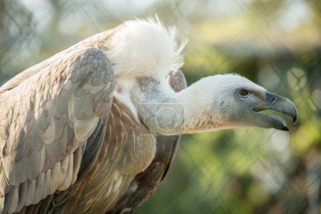 Photo pour Vautour au zoo - image libre de droit