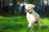 Golden Retriever puppy runs over the meadow
