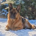 German shepherd lying on the snow in the winter su...