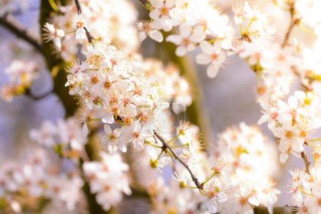 Photo pour Fleurs de printemps avec fleur blanche - image libre de droit