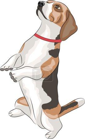 Vector. Beagle dog.