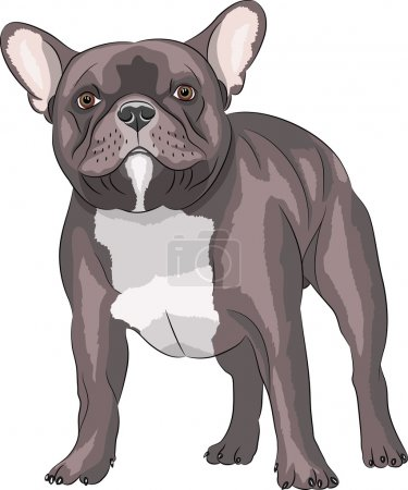 Dog breed French bulldog.