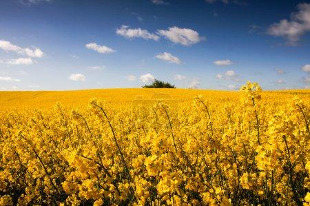 Photo pour Champ de canola jaune, champ de viol. Ciel nuageux bleu, arrière-plan agricole. Printemps nature paysage . - image libre de droit