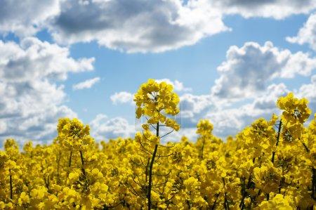 Photo pour Champ de canola avec graines oléagineuses de canola et fleurs de colza jaune. Ciel nuageux bleu. Printemps - image libre de droit
