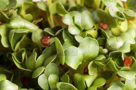 Summer Green Fresh Organic Cress