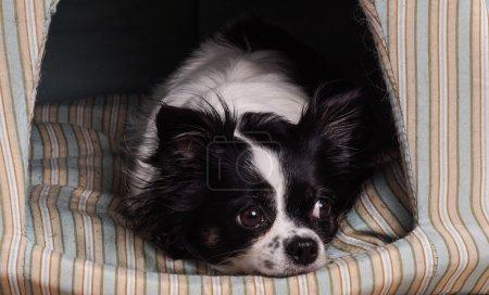 Photo pour Accessoires pour chiens chihuahua. Petit chien Chihuahua noir et blanc, couché dans son panier de chien - image libre de droit