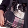 Постер, плакат: black and white accessories dog chihuahua