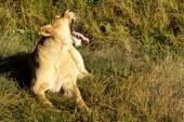 Lvice vrčí v ranním slunci