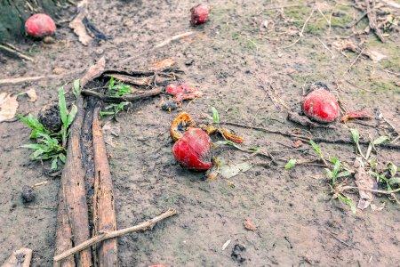 Ripe Guaba Fruit