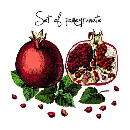 Set of pomegranate. Illustrations. Vector.