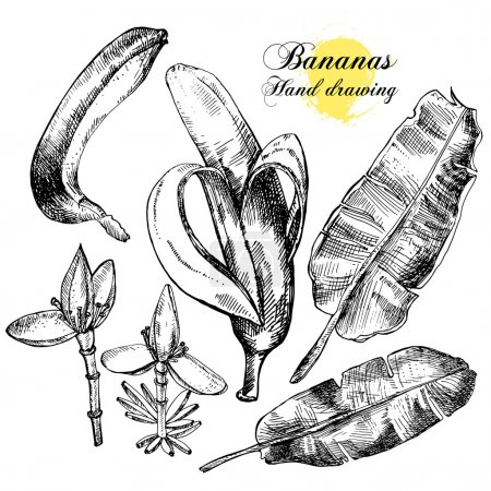 Illustration for Hand drawing bananas. Flowers, fruit and leaves on a white background. Vector illustration - Royalty Free Image